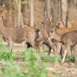 Deer — Stock Photo #31671763