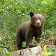 Brown bear cub in a forest — Stock Photo #32658741