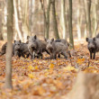Wild boar — Stock Photo #32651543
