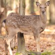 Deer in autumn forest — Stock Photo