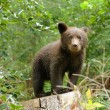 Brown bear cub in a forest — Stock Photo