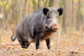 秋天的森林野猪 — 图库照片