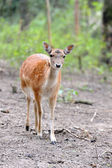 Fallow deer — Photo