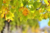 Frozen autumn leaves — Stock Photo