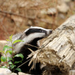 Stock Photo: Badger near its burrow in forest
