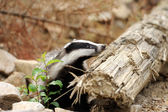 Badger near its burrow in the forest — Stock Photo