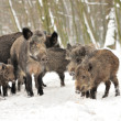 Wild boar in winter forest — Stock Photo