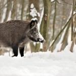Wild boar in winter forest — Stock Photo #34286083