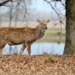 Deer in river — Stock Photo