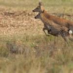 Deer in autumn field — Stock Photo #34585159