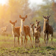 Deer in autumn field — Stock Photo