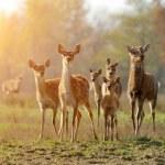 Deer in autumn field — Stock Photo