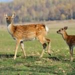 Deer in autumn field — Stock Photo #34585179