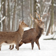 Deer in winter forest — Stock Photo #34585255