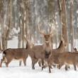 Deer in winter forest — Stock Photo