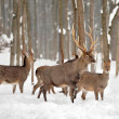 Deer in winter forest — Stock Photo #34585265