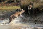 Deer in river — Stock Photo