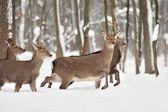 Deer in winter forest — Stock Photo