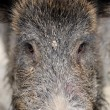 Wild boar — Stock Photo #35634529