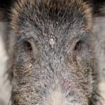 Wild boar — Stock Photo #35634529