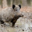Wild boar — Stock Photo #35634533