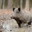 Wild boar — Stock Photo #35634543