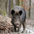 Wild boar — Stock Photo #35634545