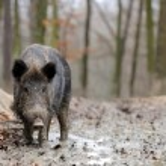 Wild boar — Stock Photo #35634549