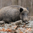 Wild boar — Stock Photo #35634553