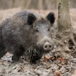 Wild boar — Stock Photo #35634555
