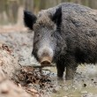 Wild boar — Stock Photo #35634595