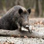 Wild boar — Stock Photo #35634613