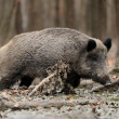 Wild boar — Stock Photo #35634619