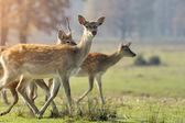 Deer — Stok fotoğraf