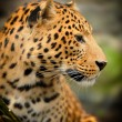 Leopard portrait — Stock Photo #36483739