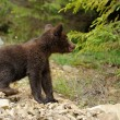 Brown bear cub — Stock Photo #36913279