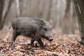Wild boar — Stock fotografie