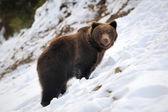 Urso no inverno — Fotografia Stock
