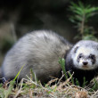 Stock Photo: Polecat
