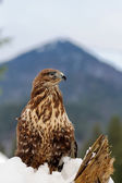 Hawk on a branch — Foto Stock