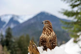 Hawk on a branch — Stock Photo