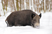Wild boar — Zdjęcie stockowe