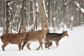 Deer — Stock fotografie