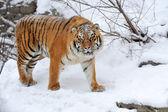Tygrys — Zdjęcie stockowe