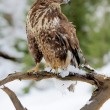 Stock Photo: Hawk
