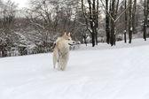 Husky — ストック写真