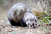 Polecat — Stock Photo