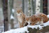 Lynx — Stock Photo