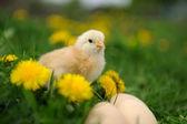 Petit poulet — Photo
