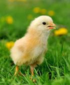 少し鶏は草の上 — ストック写真